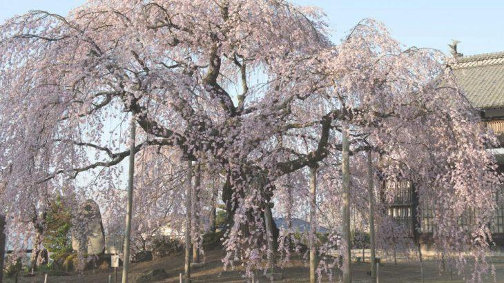 そろそろ開花?長野県飯田市の穴場花見スポット3選!