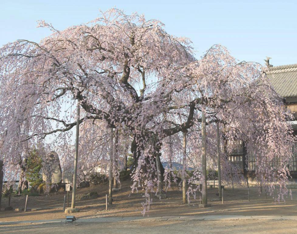 麻績の里「舞台桜」