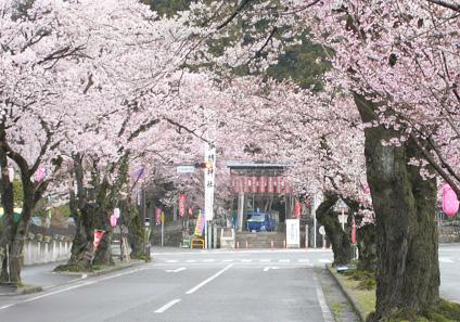 大宮通り桜並木